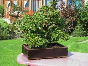 Vuurdoorn in pot: bonsai